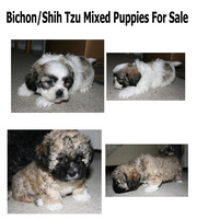 Bichon/Shih Tzu 2 male puppies for sale