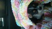 chorkie puppy male