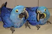 650......Christmas Talking pair of hyacinth macaw parrots and Africa